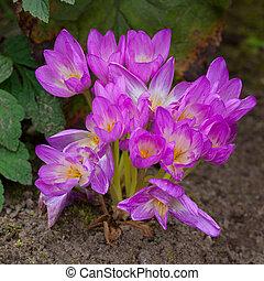 Autumn crocus, meadow saffron or naked lady (Colchicum ...