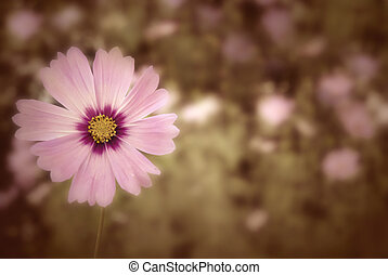 autumn daisy background
