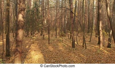 Autumn deciduous forest on clear day - Autumn deciduous...