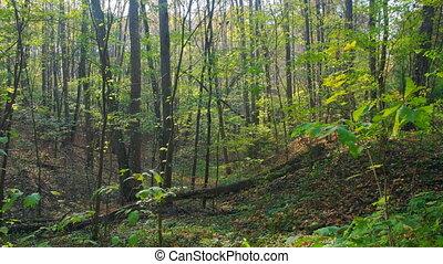 Autumn deciduous forest panning