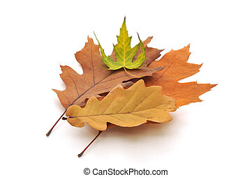 Different autumn leaves on white background.