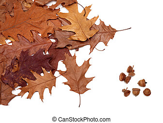 Autumn dried leafs of oak and acorns. Isolated on white background.