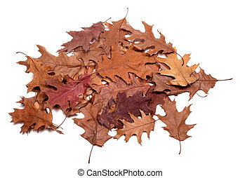 Autumn dried leafs of oak. Isolated on white background.