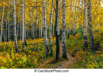 Autumn evening in the birch forest