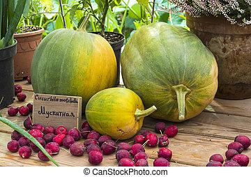 Pumpkin of the Cucurbita moschata species