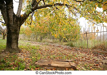Autumn fall cherry tree with yellow leaves falling