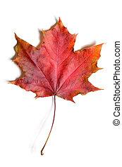 autumn fallen maple leave