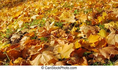 Autumn falling leaves closeup, sunlight