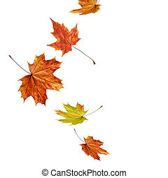 Autumn falling maple leaves isolated on white