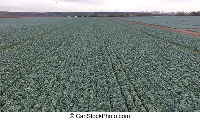 Autumn fields of cabbage - Aerial view cabbage fields HD