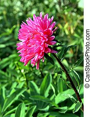 Autumn flowers. Pink Astra on green backgrownd