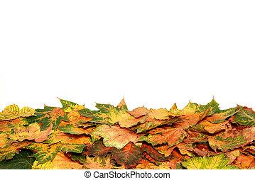 Autumn foliage. - Autumn foliage isolated on a white ...