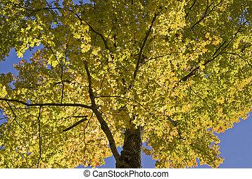 Autumn foliage color in sunlight