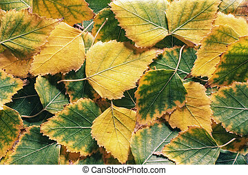 Autumn foliage. Green and yellow fall aspen leaves.