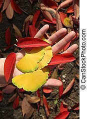 Autumn leaves - koyo tradition in Japan. Ginkgo leaves and staghorn sumac leaves.