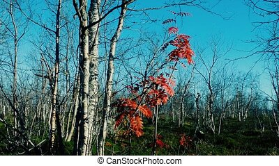 Foliage showered with birch trees, last red leaves of...