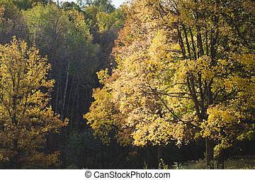 Autumn forest. A tree with yellow leaves, backlit by the sun at the edge
