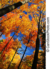 Autumn forest - Canopies of tall autumn trees in sunny fall ...