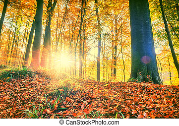 Autumn forest landscape with big trees and soil covered by fallen leaves at sunset