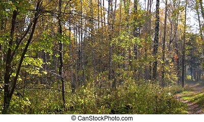 Autumn forest, leaf fall. Yellow leaves fall to the ground -...