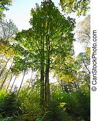 autumn forest, oak