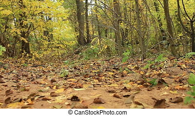 autumn forest panorama, fallen leaves, low angle view