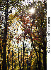 Autumn forest with orange foliage and the sun breaks through the branches