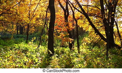 autumn forest with sun shining - dolly shot - beautiful...