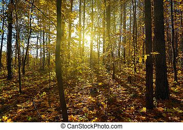 autumn forest with sun