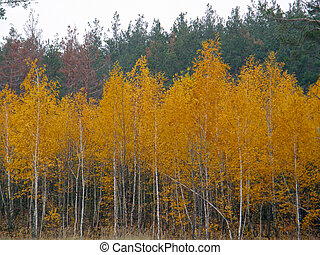 forest. Yellow birch on a background of pines