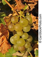 Autumn fruits, detail of wine grape