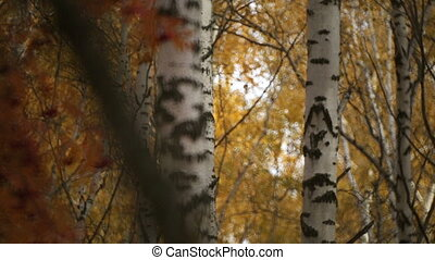 autumn gold colored leaves in bright sunlight in forest