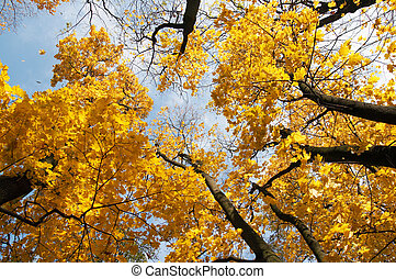 Autumn gold - Golden tree foliage and falling leafs in...