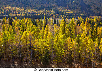 Autumn Golden forest in the Altai mountains, Russia.