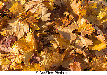Autumn. Golden maple leaves