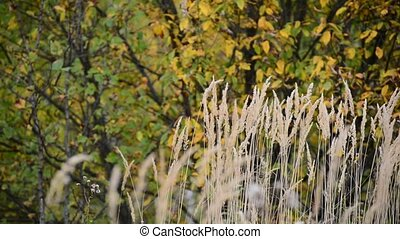 autumn grass swaying in wind