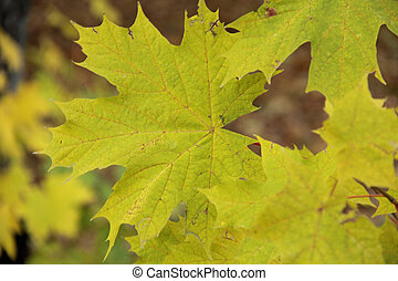 autumn green and yellow maple leaf