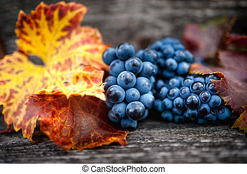 Autumn harvest at vineyard with fresh, bio red grapes. Autumn theme or background with grapes and leaves
