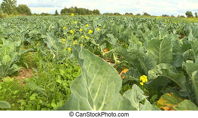 Autumn harvest of cauliflower. - On an autumn afternoon,...