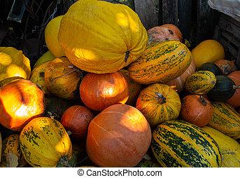 Autumn harvest of pumpkin. Harvesting in the village. Lots of pumpkins of different varieties.