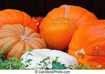 Autumn harvest of pumpkins