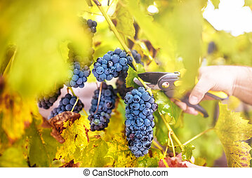 autumn harvest on wineyard valley. agriculture man harvesting grapes