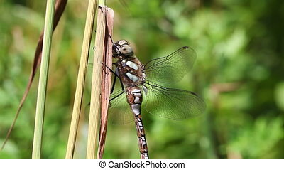Autumn Hawker - Aeshna mixta in a macro shot