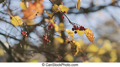autumn hawthorn berries in the morning