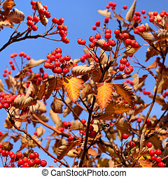 Autumn hawthorn berries on sky background