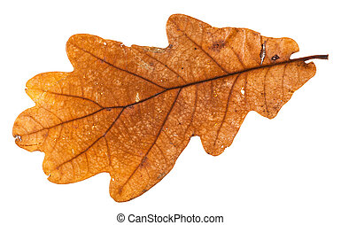 autumn holey leaf of oak tree isolated