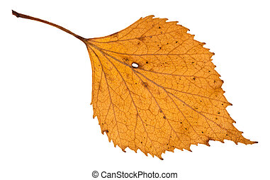 autumn holey yellow leaf of birch tree isolated