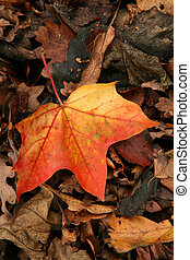 Autumn hues - Fallen leaves in autumn, a study in colour...