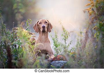 Autumn hungarian vizsla dog portrait in morning sun