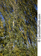 forest under the sunlight in the autumn, details of an old birch with drying out foliage